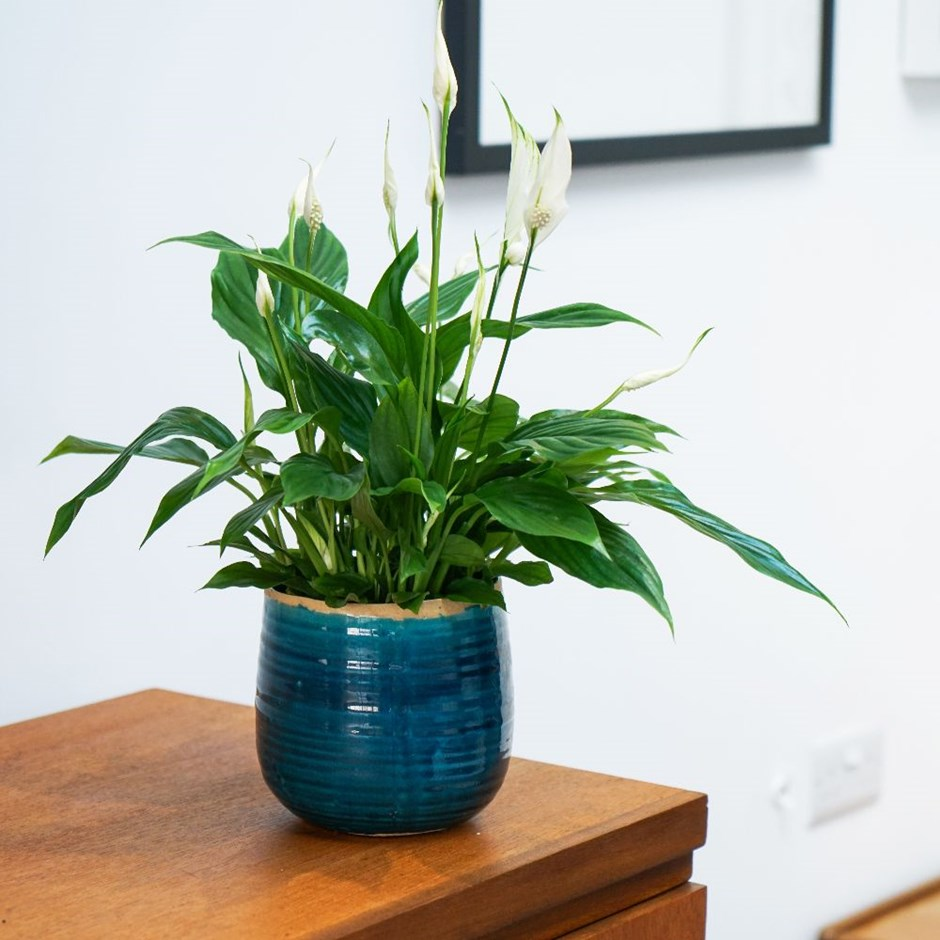 Spathiphyllum wallisii 'Bellini, - peace lily & pot cover combination