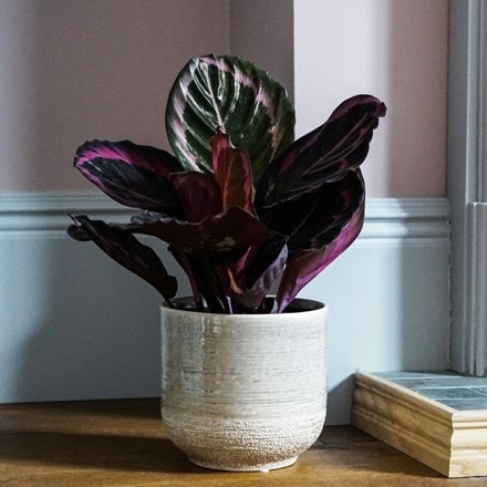 Calathea Little Princess and pot cover