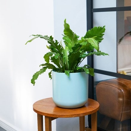 Asplenium nidus Campio and pot cover