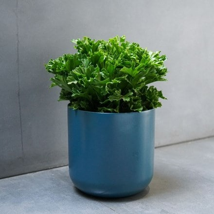 Asplenium antiquum Leslie and pot cover