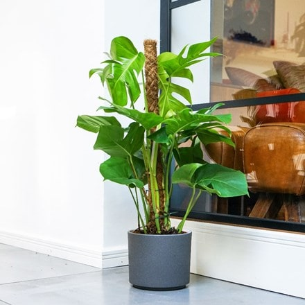 Monstera deliciosa on a moss pole and pot cover
