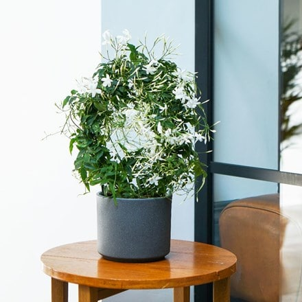 Jasminum polyanthum and pot cover