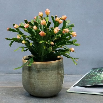 Schlumbergera Thor Wild Cactus Orange and pot cover