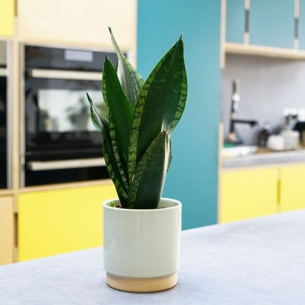 Sansevieria trifasciata Silver Flame and pot cover