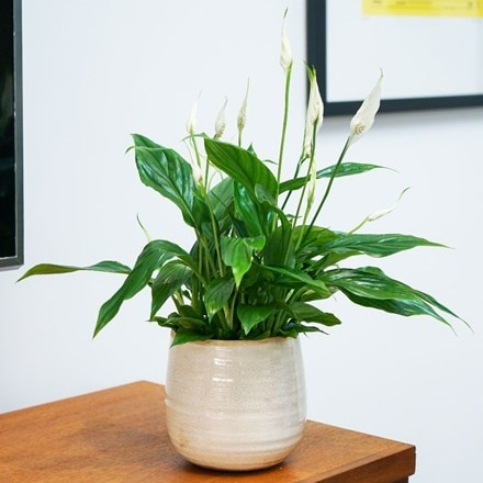 Spathiphyllum wallisii Bellini and pot cover