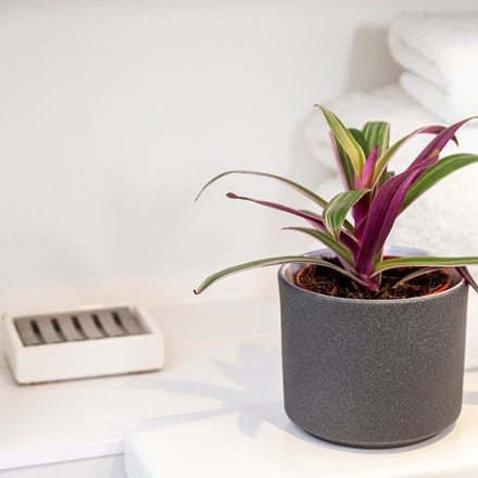 Tradescantia spathacea Sitara and pot cover