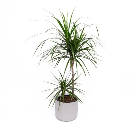 Dracaena marginata and pot cover