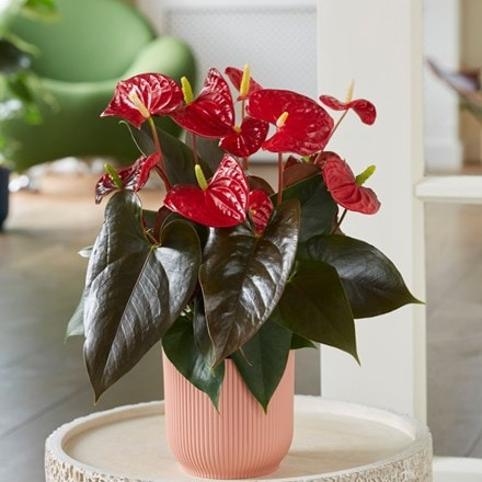 Anthurium Coral Champion and pot cover