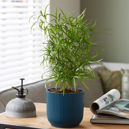 Asparagus falcatus and pot cover
