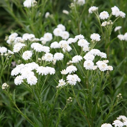 Achillea ptarmica (The Pearl Group) The Pearl (clonal)