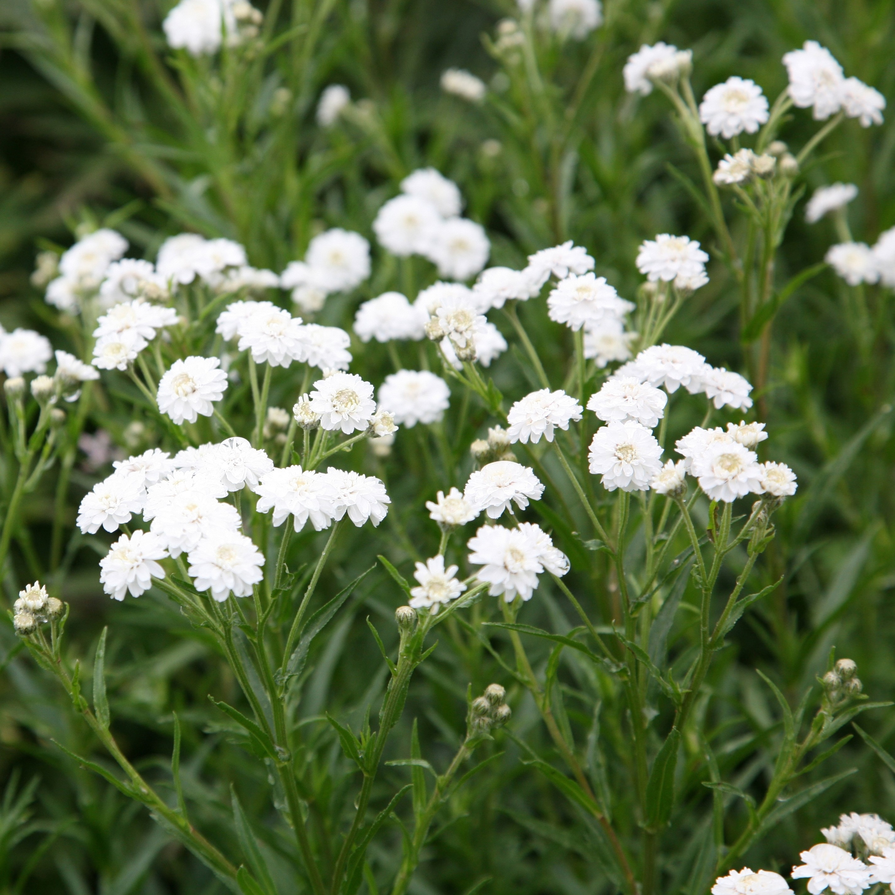 Add To Wishlist Achillea Ptarmica (The Pearl Group) The Pearl (clonal)