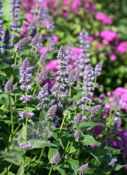Buy Mexican Giant Hyssop Agastache Blue Fortune 163 11 99