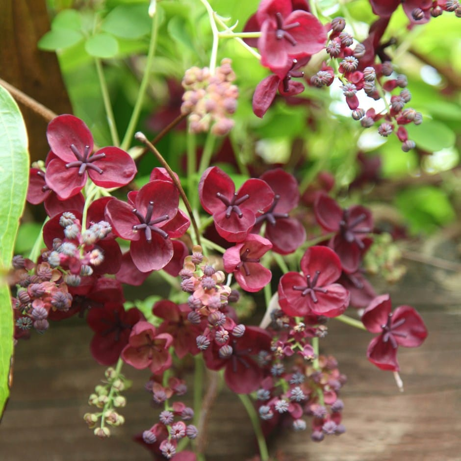 Buy Chocolate Vine Akebia Quinata Delivery By Waitrose