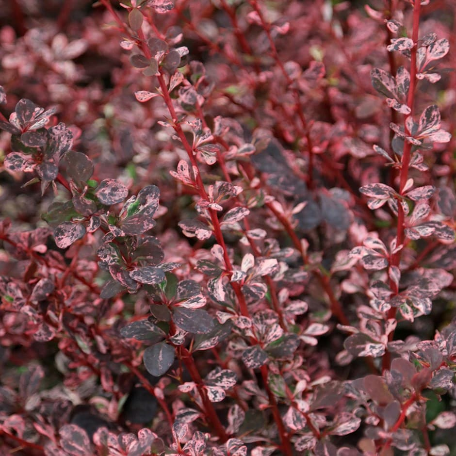 buy barberry berberis thunbergii f atropurpurea harlequin. Black Bedroom Furniture Sets. Home Design Ideas