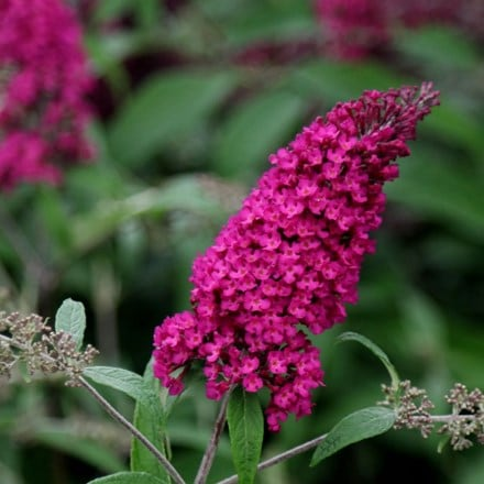 Buddleja davidii Royal Red