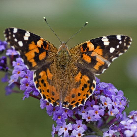 Buy butterfly bush Buddleja Lochinch: £17.99 Delivery by ...