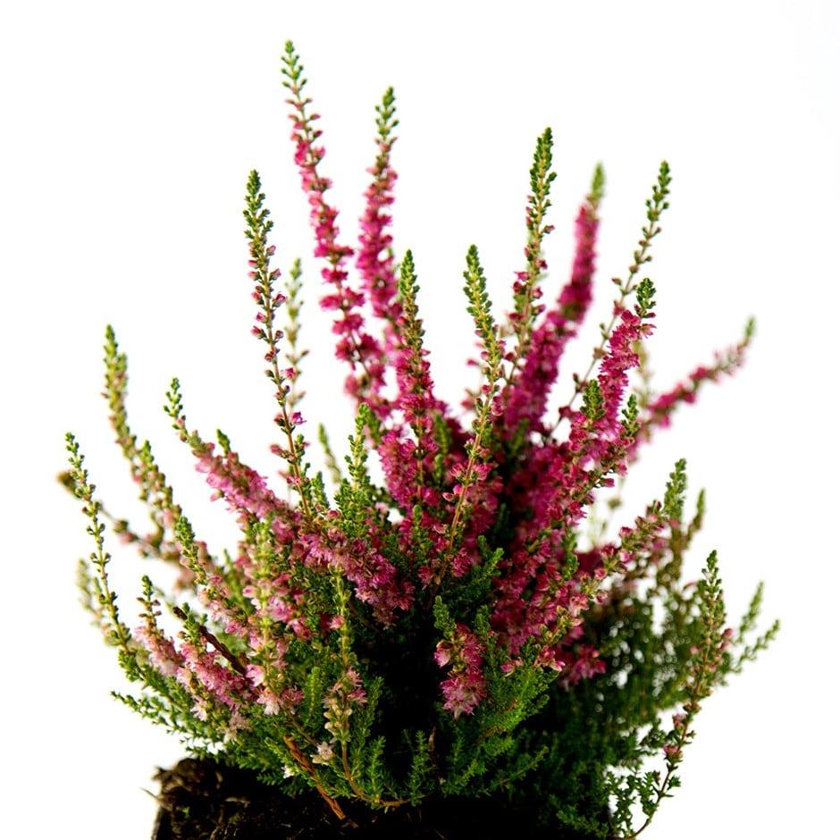 Buy scots heather calluna vulgaris dark beauty pbr 5 for Calluna vulgaris