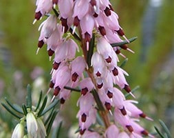 winter heath heather