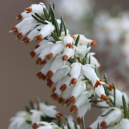 Erica carnea f. alba Whitehall