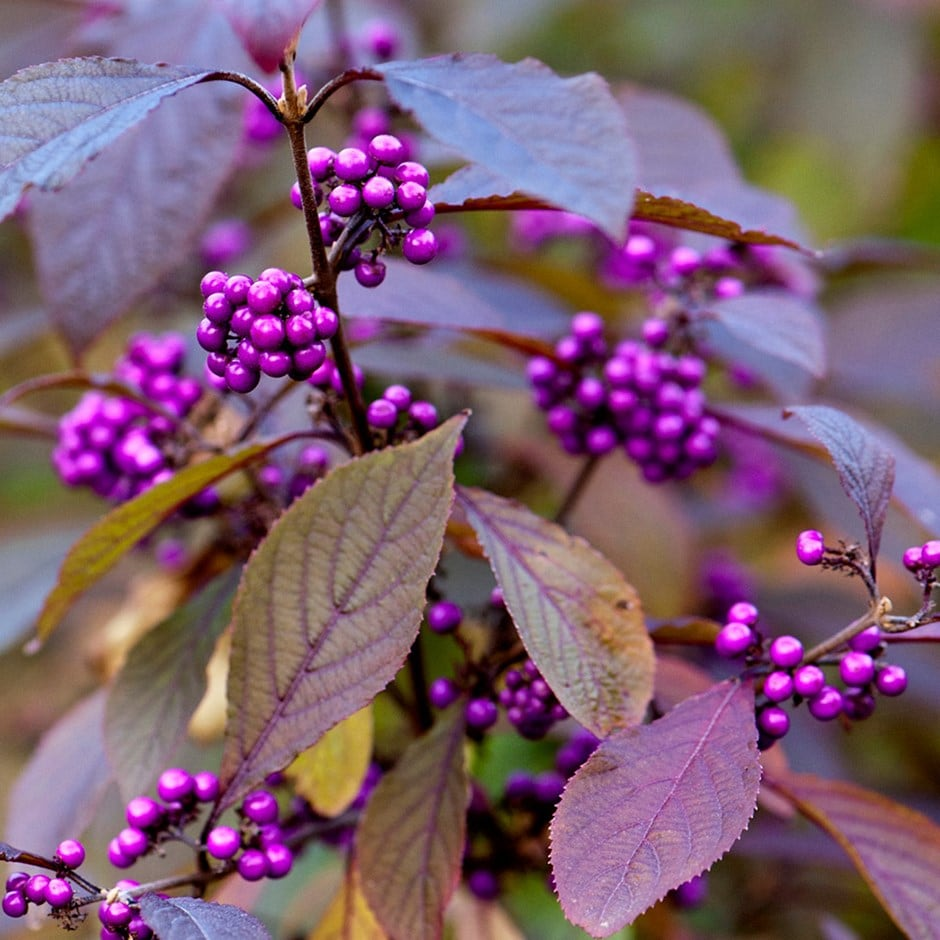 Buy Beauty Berry Callicarpa Bodinieri Var Giraldi