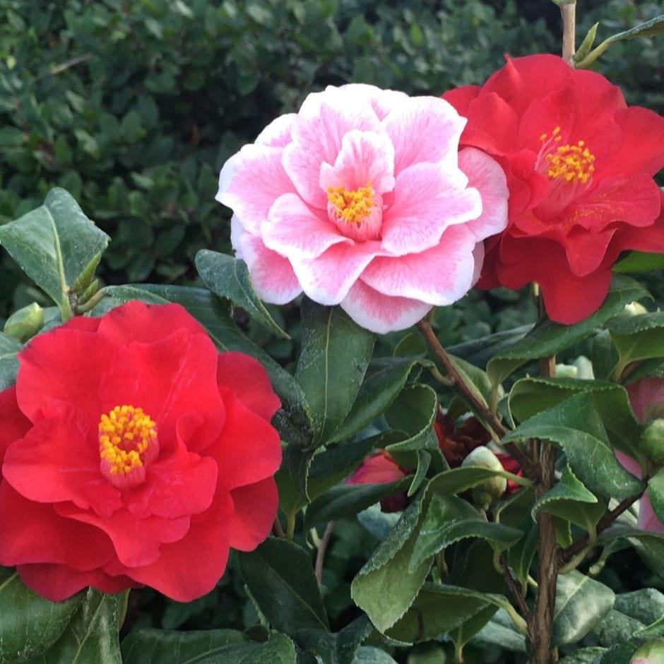 Buy camellia camellia japonica 39 lady vansittart 39 for Camellia homes