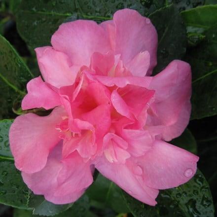Camellia Sparkling Burgundy