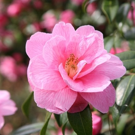 Camellia × williamsii Donation
