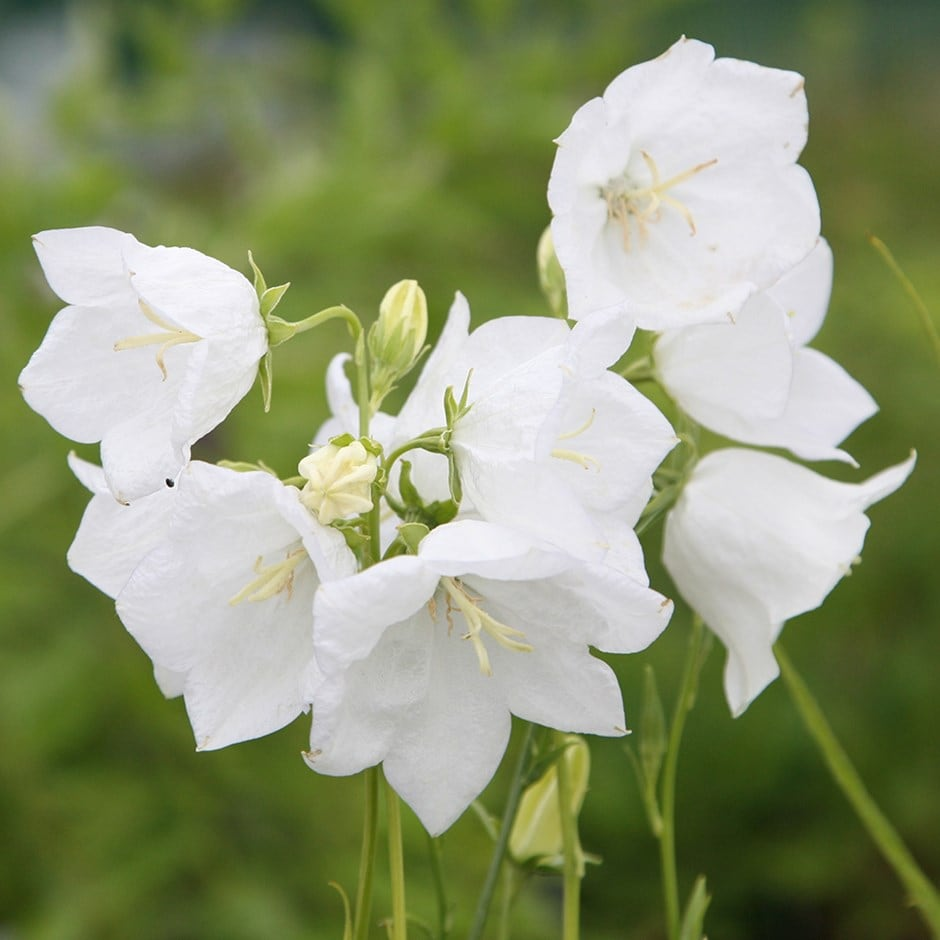 Buy Peach Leaved Bellflower Campanula Persicifolia Var Alba 999