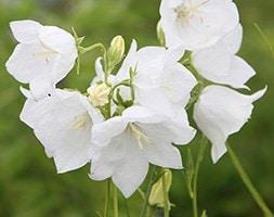 Campanula persicifolia var. alba