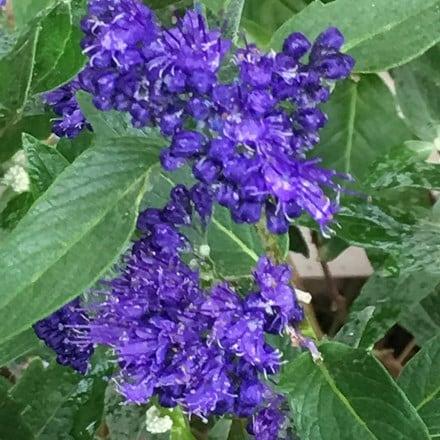 Caryopteris × clandonensis Heavenly Blue