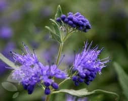 Caryopteris × clandonensis Heavenly Blue
