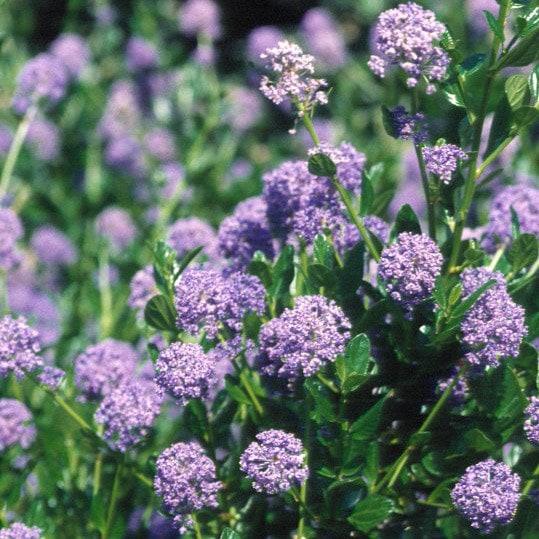 Buy Californian Lilac Ceanothus Autumnal Blue 163 14 99