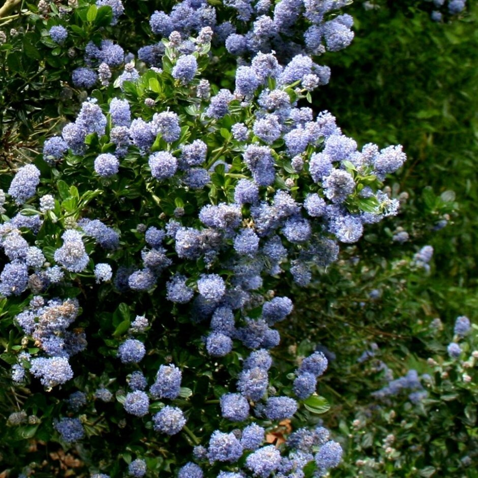 Californian lilac