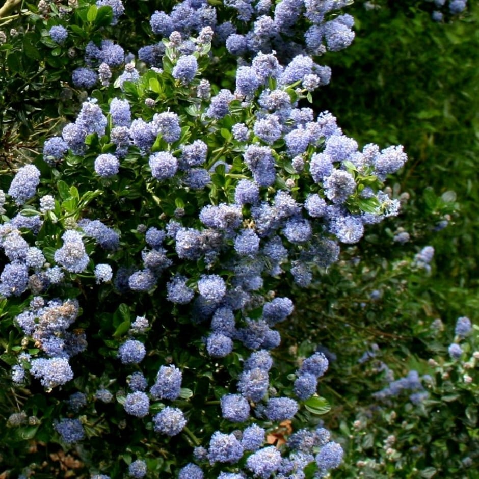 Buy californian lilac ceanothus skylark 1499 delivery by crocus zoom izmirmasajfo