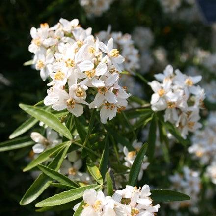 Choisya × dewitteana Aztec pearl