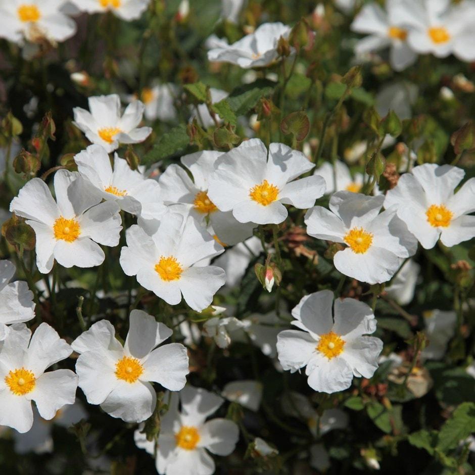 rock rose ( syn corbariensis )