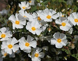 rock rose ( syn corbariensis )