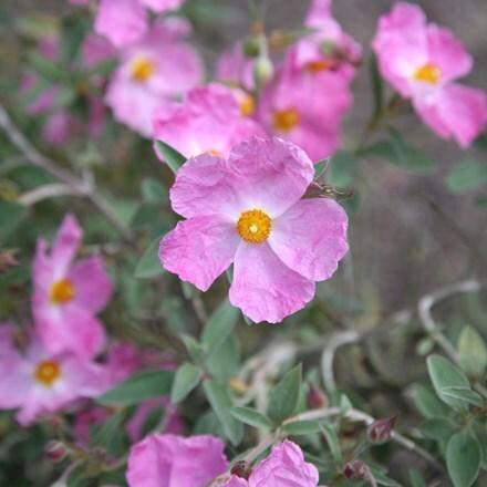 Cistus × argenteus Silver Pink