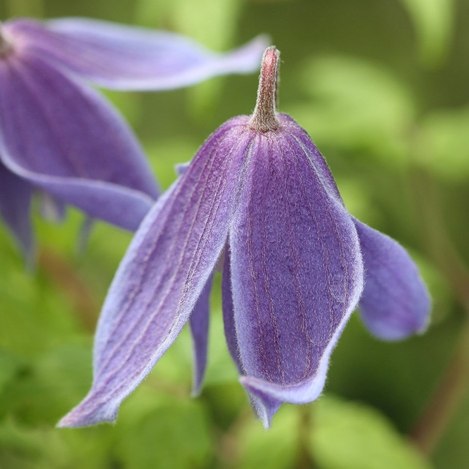 Image of Clematis alpina 2 lt pot (60cm cane)