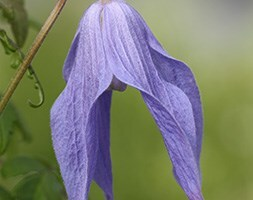 alpine clematis (group 1)