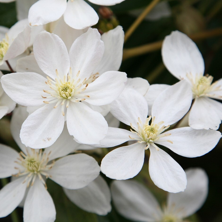 Buy Clematis Group 1 Clematis Armandii Delivery By