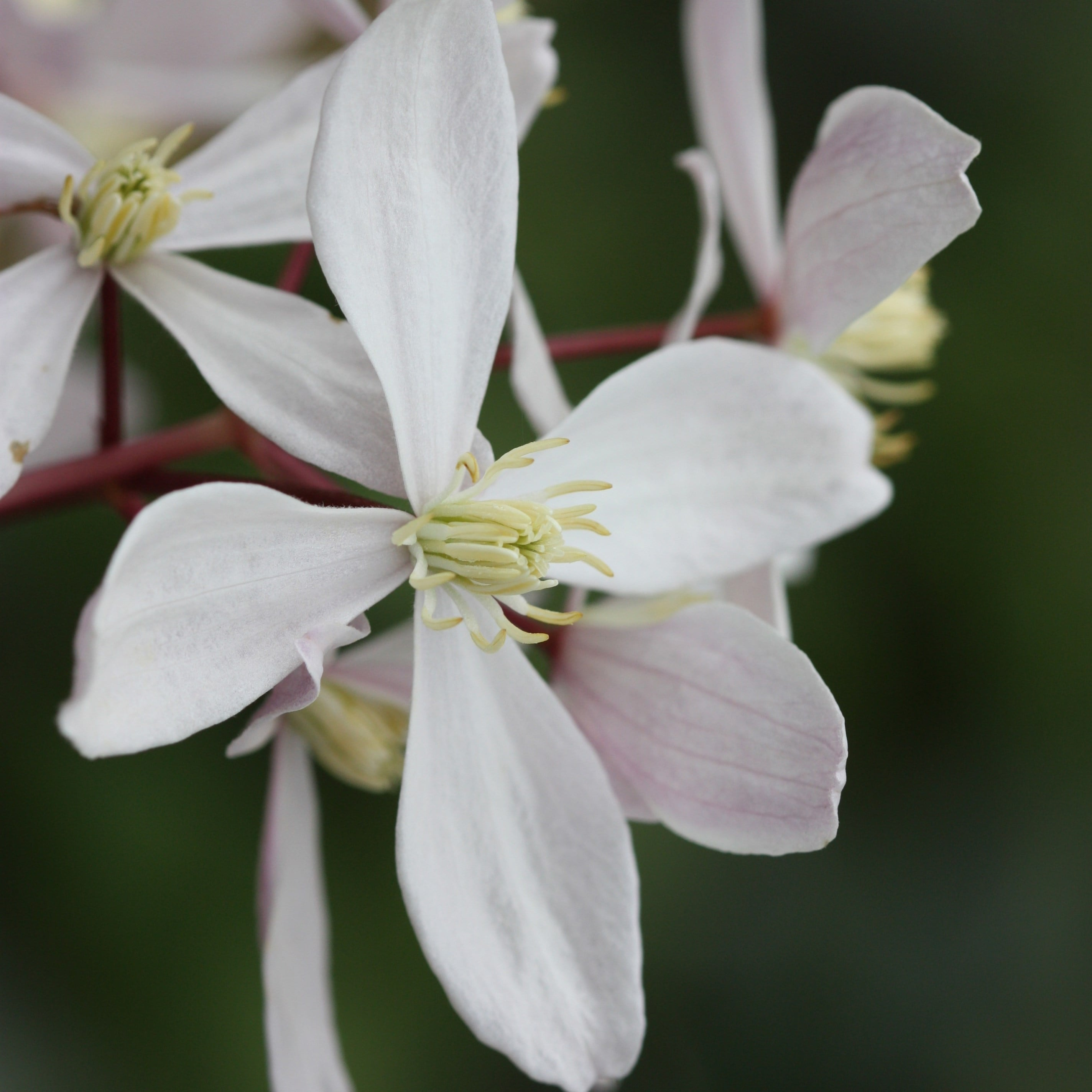 clematis (group 1) ( sym Clematis armandii Apple Blossom )
