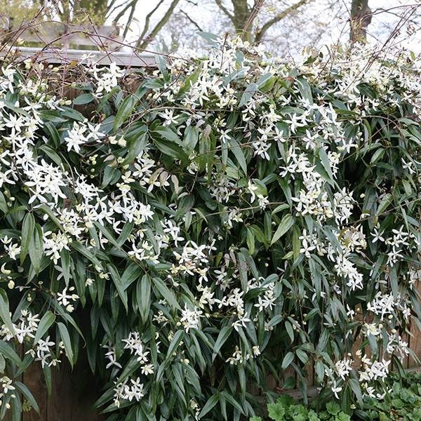 buy clematis group 1 clematis armandii snowdrift delivery by crocus. Black Bedroom Furniture Sets. Home Design Ideas