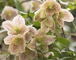 fern-leaved clematis (group 1)