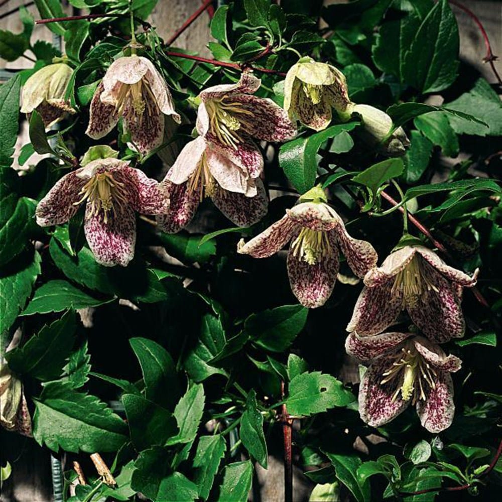 buy clematis group 1 clematis cirrhosa var 39 purpurascens freckles 39 delivery by waitrose. Black Bedroom Furniture Sets. Home Design Ideas