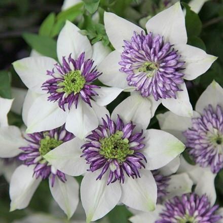 Clematis florida var. florida sieboldiana