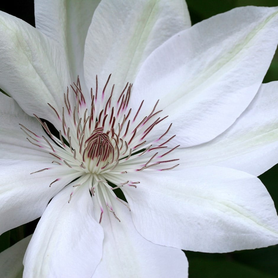 Buy Clematis Group 2 Clematis Henryi