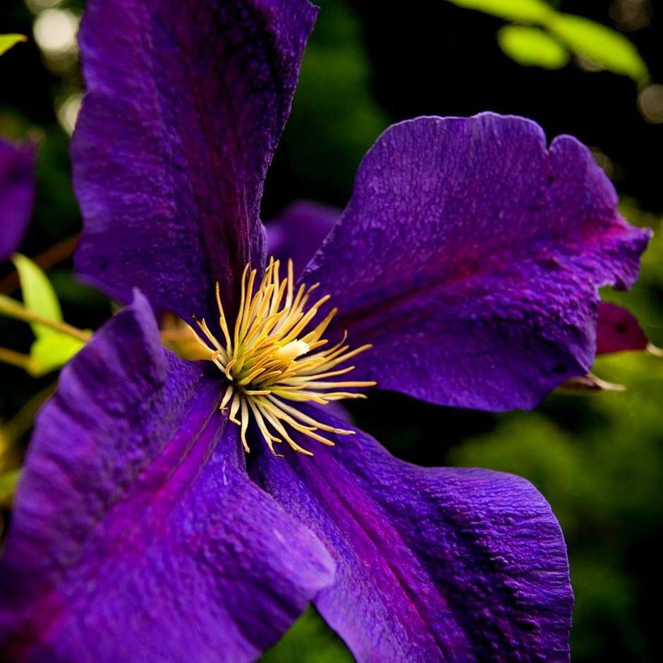 buy clematis group 3 clematis jackmanii superba delivery by crocus. Black Bedroom Furniture Sets. Home Design Ideas