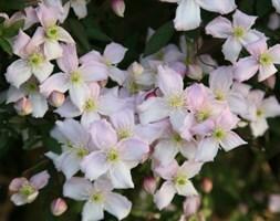 Clematis montana var. rubens Pink Perfection