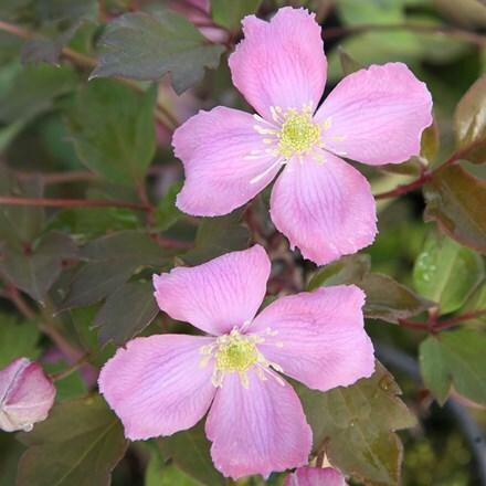 Clematis montana var. rubens Tetrarose